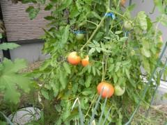 やすらぎトマト